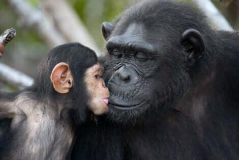 Coppia di mamma e cucciolo di scimpanzé che si danno un bacio.