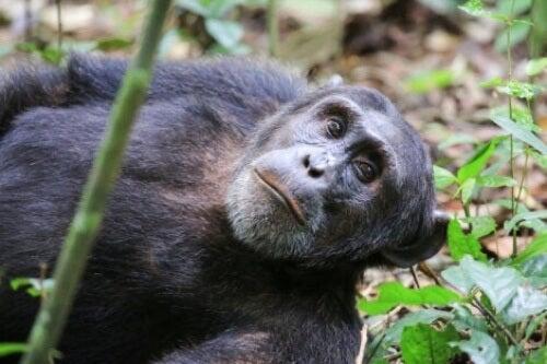 Scimpanzé sdraiato a terra.