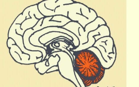 Disegno del cervello con il cervelletto.