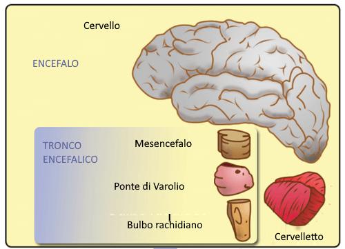 Struttura del tronco encefalico.