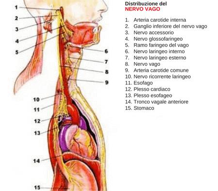 Distribuzione del nervo vago nel corpo umano.