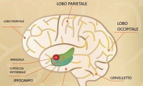 Corteccia entorinale e consolidamento della memoria