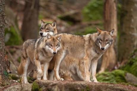 Branco di lupi.