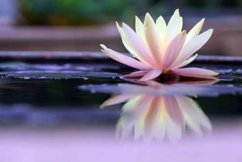 Bellissimo fiore di ninfea che galleggia sull'acqua.