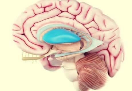 Putamen nel cervello umano.