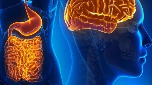 Neuroni intestinali: funzioni e interazioni con il cervello