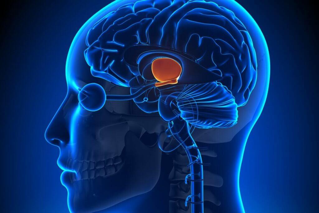 Ipotalamo nel cervello umano.