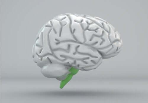 Bulbo rachidiano: struttura e funzioni