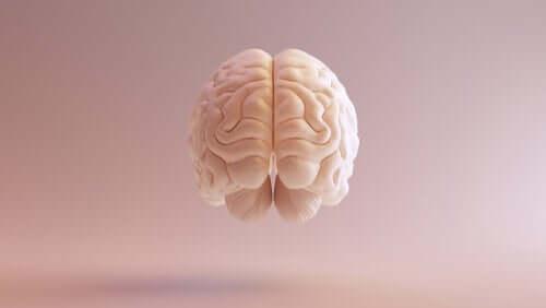 Visione frontale del cervello.