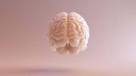 Cervello visto di fronte.