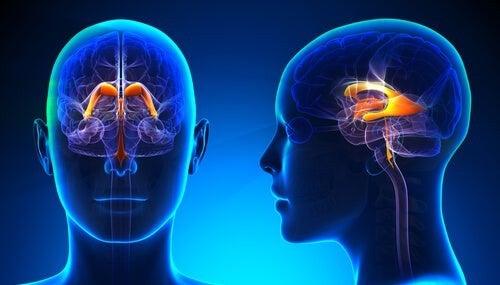 Sistema ventricolare cerebrale: funzioni