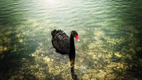 Cigno nero in acqua.
