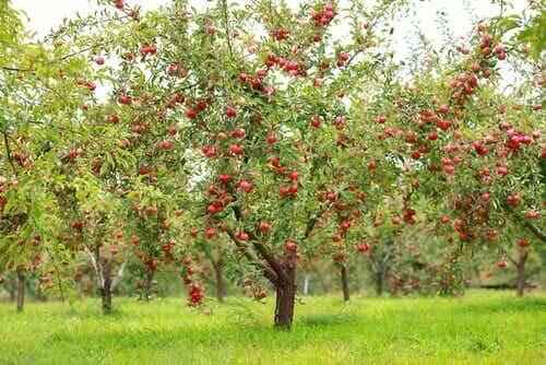 Alberi di mele.
