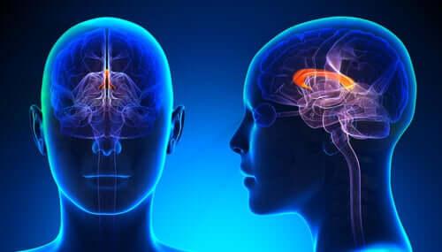 Corpo calloso: funzioni e lesioni