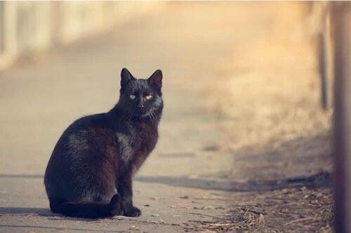 Gatto nero.