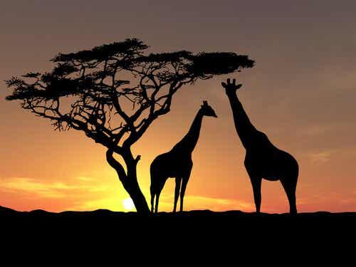 Giraffe al tramonto.