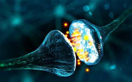 Le connessioni sinaptiche.