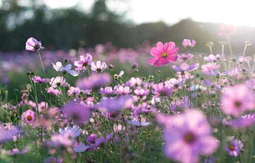 Prato di fiori viola.