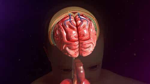 Cervello e meningi.