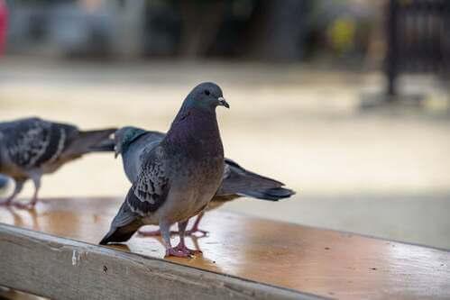 Paura dei piccioni o ornitofobia