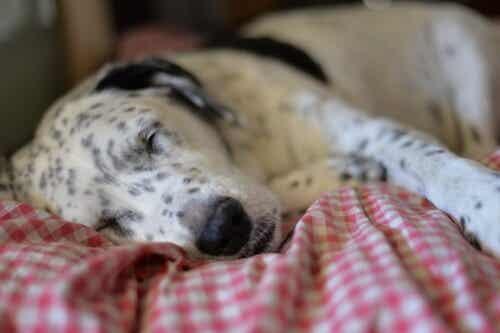 Cane che dorme sul letto.