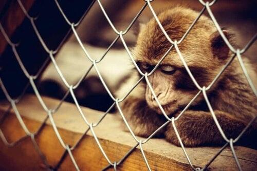 Scimmia depressa in gabbia.
